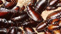 Блаттофобия - боязнь тараканов